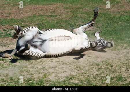Grevy zebra rolls head over heels in dust - Stock Photo