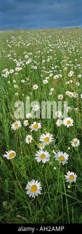 Oxeye daisies (Leucanthemum vulgare). Mountainous Altay. Siberia. Russia - Stock Photo