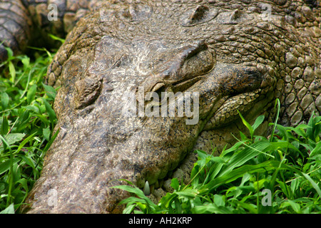 Giant crocodile resting on green grass on a river side at Panama Central America - Stock Photo