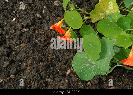 Rain on garden soil with water droplets on a nasturtium leaf flowers - Stock Photo