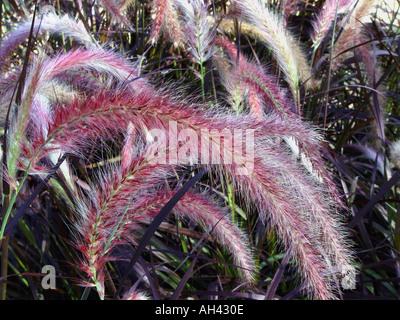 Pennisetum setaceum Purpurea Garden perennial ornamental grass - Stock Photo