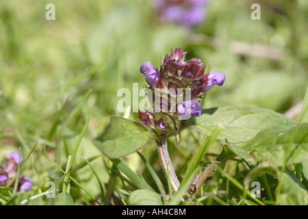 Selfheal (Prunella vulgaris) - Stock Photo