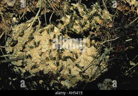 Common wasp (Vespula vulgaris) nest. - Stock Photo