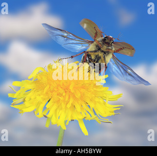common cockchafer, maybug (Melolontha melolontha), take off from common dandelion - Stock Photo