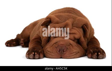 Shar Pei Chinese Shar Pei sharpei Canis lupus f familiaris - Stock Photo