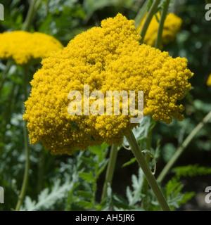 Asteraceae achillea filipendulina gold plate - Stock Photo