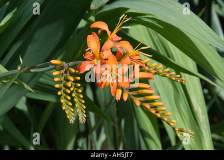 Montbretia Crocosmia lucifer red flower in a garden setting - Stock Photo