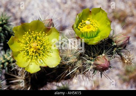 Buckhorn Cholla Cactus blooms Opuntia acanthocarpa Anza Borrego State Park California - Stock Photo