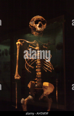 Skeleton of Turkana boy, Homo Erectus, 1 6 million years old found by Dr Richard Leakey near Lake Turkana, Kenya. - Stock Photo