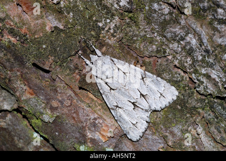 Grey Dagger Moth (Acronicta psi). - Stock Photo