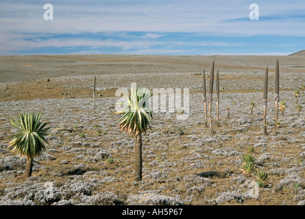Giant lobelias on Sanetti Plateau high in Bale Mountains Southern Highlands Ethiopia Africa - Stock Photo