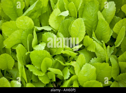 Alecost leaves