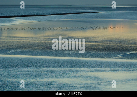 Wading birds on a beach in Morecambe Bay at sunset - Stock Photo