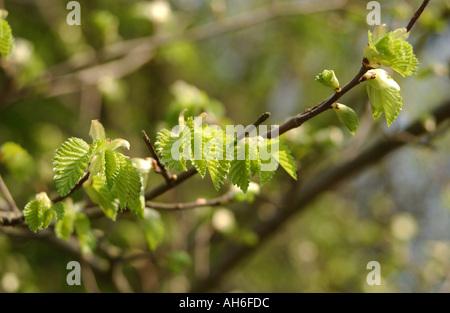 Young beech tree  - Stock Photo