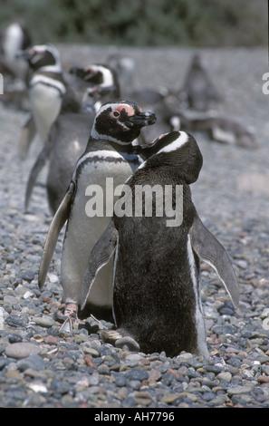 BREEDING PAIR of MEGELLANIC PENGUINS Spheniscus magallanicus grooming PUNTA TOMBO COLONY ARGENTINA - Stock Photo
