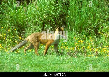 Young Red Fox on the lookout for food - Stock Photo