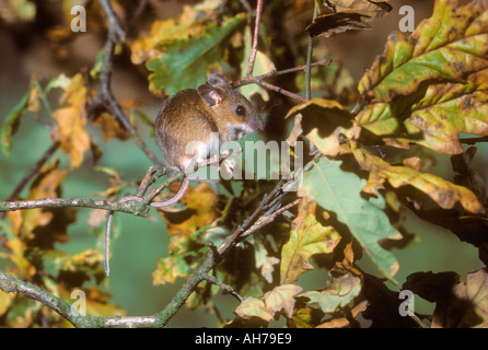 Wood Mouse climbing in high twigs looking for beech masts