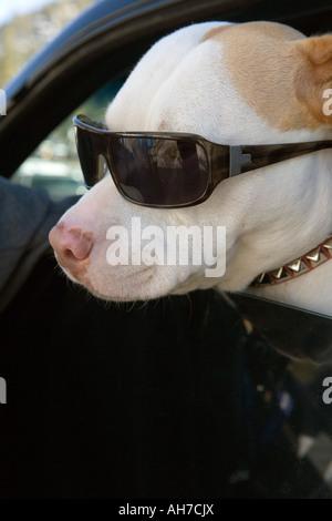 Dog wearing sunglasses - Stock Photo