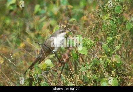 Yellow billed Cuckoo - Stock Photo