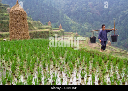 Dong Ethnic Minority Woman Shoulder Carrying Buckets Terraced Rice Fields Zhaoxing China - Stock Photo
