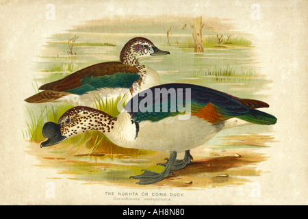 AAD71540 Nature History Painting of two Nukta comb duck bird - Stock Photo