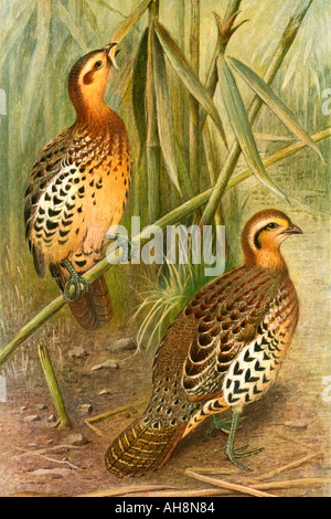Quail bird painting - Stock Photo