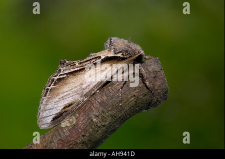 Swallow Prominent (Pheosia tremula) at rest on twig Potton Bedfordshire - Stock Photo