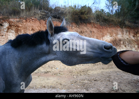 Young Spanish horse smelling its trainer's elbow - Stock Photo