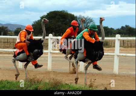 Oudtshoorn in the Little Karoo South Africa RSA Ostrich Racing - Stock Photo