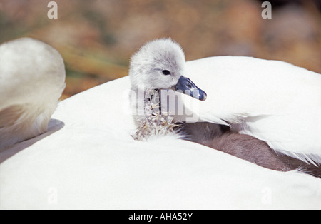 Cygnet with mother swan Abbotsbury Swannery Dorset England UK - Stock Photo