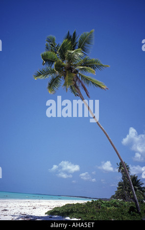 Tall coconut palm tree Bwejuu Beach Zanzibar Tanzania - Stock Photo