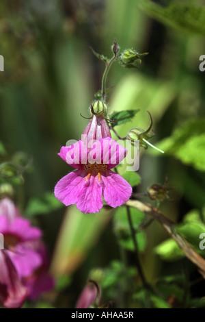 Picture shows a Rehmannia elata Chinese foxglove - Stock Photo