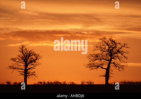 Line of 2 winter trees on hilltop silhouetted against dramatic sunset - Stock Photo