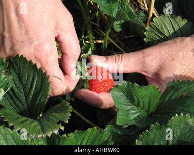 Close-up of the hands of a woman picking a strawberry, Scotland, UK. - Stock Photo