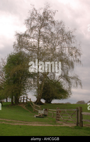 Silver birch Betula pendula just coming into leaf in a filed beside a post and rail fence - Stock Photo