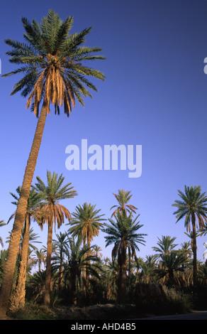 TUNISIA Jerid Nefta Jarid date palm trees growing in the large oasis plantation  - Stock Photo