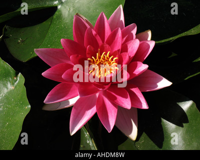 The flower of the water lily Nymphaea - Stock Photo