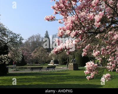 Magnolia in Wilhelma Stuttgart Baden Württemberg Germany - Stock Photo