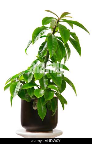 Rose Cactus Pereskia grandifolia Rhodocactus grandifolius potted plant - Stock Photo