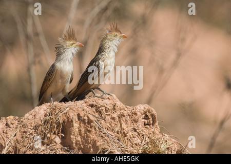 A couple of guira cuckoos. Picture taken in the Brazilian Cerrado - Stock Photo