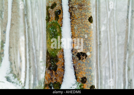 An unusual image of a colourful smooth tree trunk covered in lichens and moss with a line of wind blown snow stuck - Stock Photo
