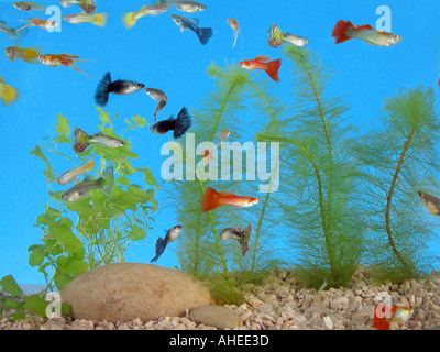 guppy fishes in a glass aquarium - Stock Photo