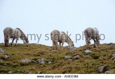 Eriskay Ponies, Scotland - Stock Photo