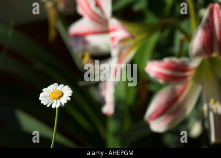 One daisy and two Knight's-star-lilies in the garden - Stock Photo