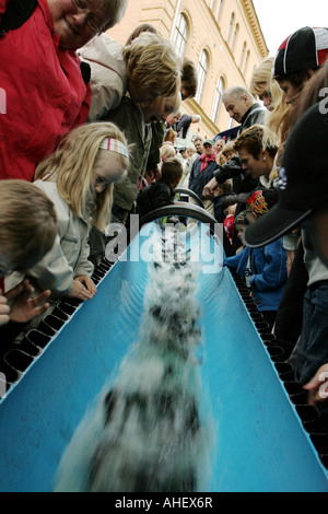 Young Sea trouts (salmo trutta) is being put into a river in which they will return in a couple of years grown up - Stock Photo