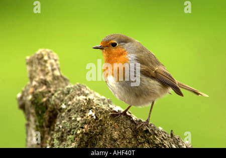 ROBIN Erithacus rubecula Wild bird seen in British gardens - Stock Photo