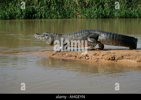 SPECTACLED CAIMAN Caiman crocodilus - Stock Photo