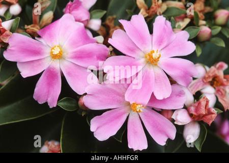 Rose Cactus (Pereskia grandifolia, Rhodocactus grandifolius), flowers - Stock Photo