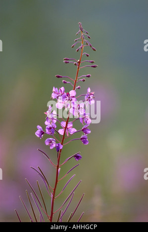 fireweed, blooming sally, rosebay willow-herb, great willow-herb (Epilobium angustifolium, Chamaenerion angustifolium), - Stock Photo