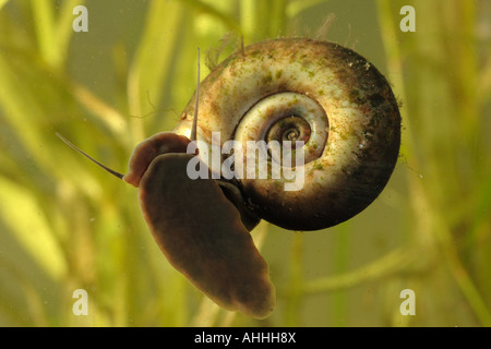 horn-colored ram's horn, great ramshorn (trumpet shell) (Planorbarius corneus), foot underside, Germany, Bavaria, - Stock Photo
